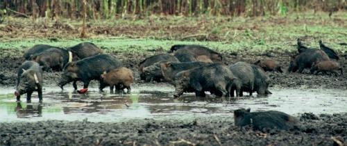 WLP herd